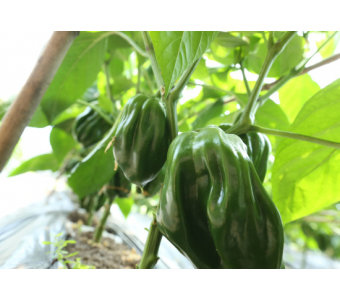 沙之洲绿色生态蔬菜--青椒 无公害辣椒 新鲜优质青辣椒