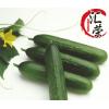 批发丹东东港新鲜无公害有机绿色荷兰水果黄瓜  荷兰小黄瓜