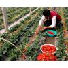 丹东马家岗99草莓红颜草莓丹东特产产地直供