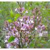 开原苗圃供应优质紫丁香苗木价格合理规格齐全