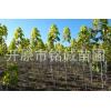 苗圃长期批发出售绿化乔木金叶复叶槭保质保量物美价廉