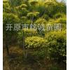 长期批发经销优质金叶榆造型公园景观绿化树厂区单位别墅园区美化