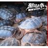 食用鳄鱼龟_鳄鱼龟价格/优质靖江刘兴水产养殖鳄鱼龟