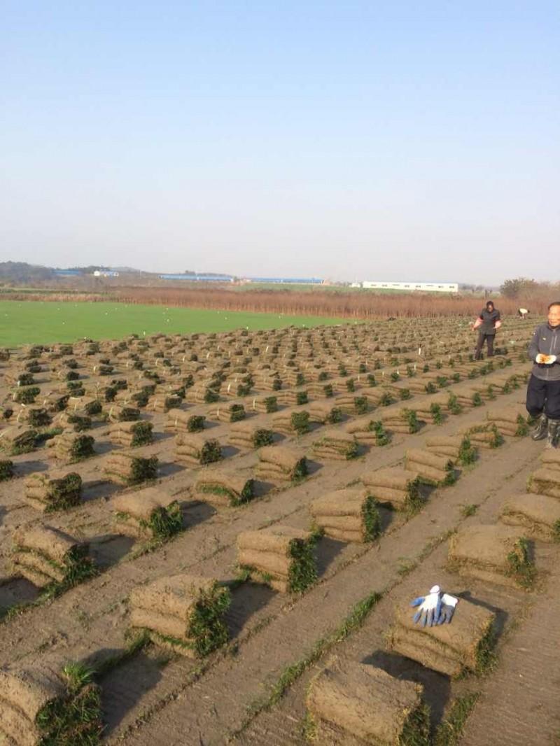 句容草坪基地低价供应果岭草-榉树朴树