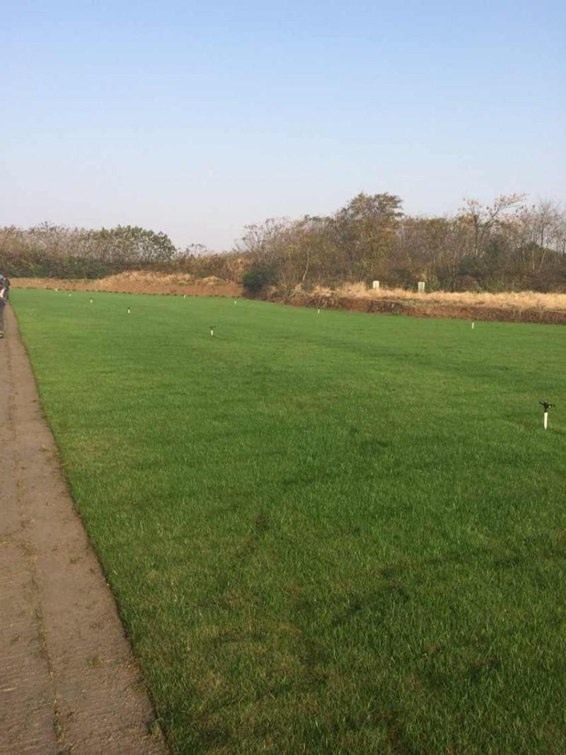 句容景叶苗木园艺场低价供应优质马尼拉草坪-护坡草坪