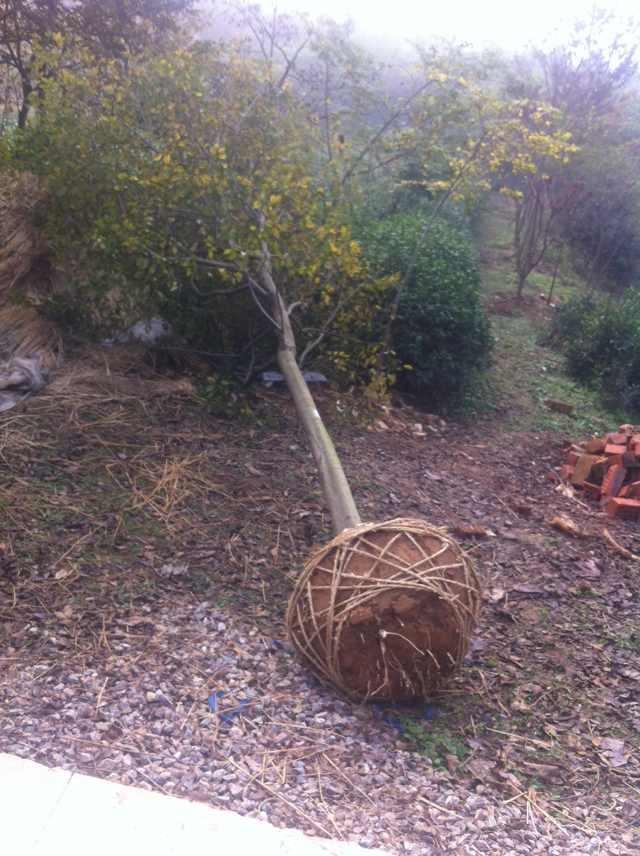 句容景叶苗木常年低价供应优质朴树-实生朴树