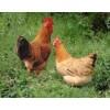 应供土鸡、土鸡蛋