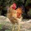 鸭先知 正宗土鸡 吃草吃虫无饲料 肉质鲜美 营养价值高