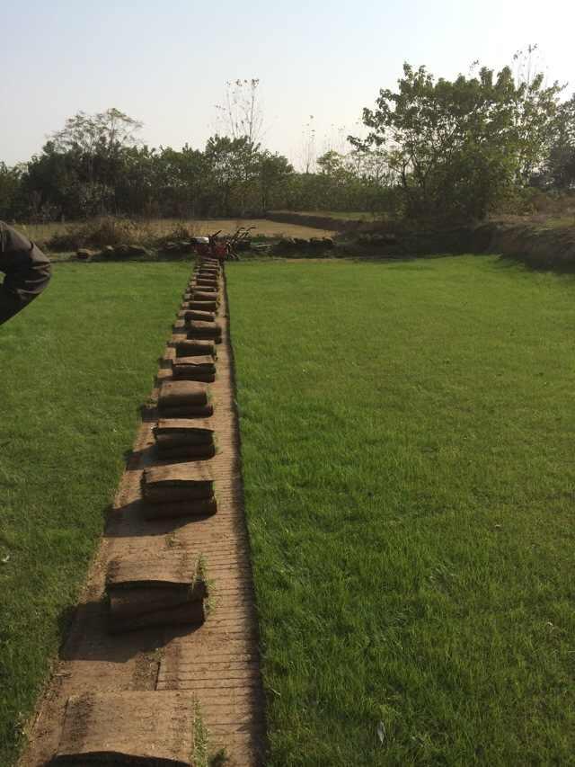 句容景叶草坪基地面向全国销售优质果岭草-量大价优