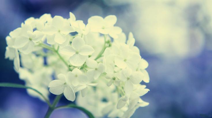 绣球花的繁殖与养护管理 (4)