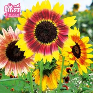 多彩向日葵