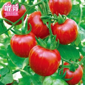 红彩水果番茄