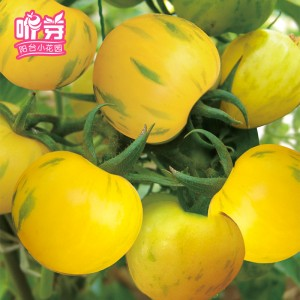 黄彩水果番茄