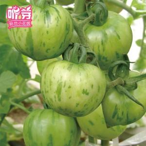 绿彩水果番茄
