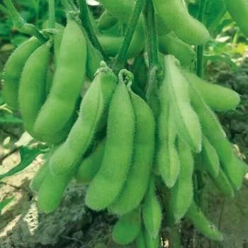 浙鲜9号菜用大豆种子 利丰牌500克