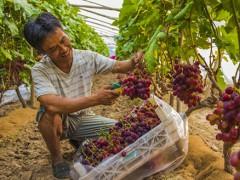河北枣强:大棚葡萄种出好前景